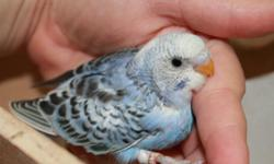 Super sweet and outgoing, this baby parakeet is a light lilac/violet color and is now ready to go to a new home. Her band number is 904. She was born on September 19th.    She is friendly, out going, and gentle.  Call to come and she
