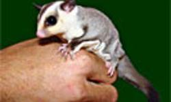 Baby White Face Sugar Gliders, Males and females available, 8 weeks out of the pouch, Super sweet