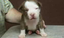 BAMBINO X NEGRA LITTER ON THE GROUND WE HAVE 2 MALES AND 3 FEMALES LEFT. THESE PUPS HAVE A VERY GOOD PED DO YOUR RESEARCH PLZ. THE PUPS ARE UTD ON DEWORMING AND SHOT?S. THE PUPS ARE UKC REG. THERE IS A GREAT DEAL FOR THOSE INTERESTED IN THIS LITTER