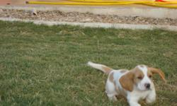 ckc registered basset hounds 2 male tri color 1 male red and white