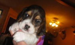 Ready to go,Have 10 puppies 8 boy's and 2 girl's,a great family pet or rabbit dog