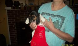 Only two basset hound puppies left ready to go Thanksgiving will have first shot and dewormed. Call Helen or Jen at 508-248-4423 or email at bcrazycat@charter.net