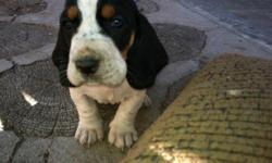 Cute purebred basset hound puppies they dont have papers and need shots thats why iam asking a lower price for them please contact me at 5616883695 or email me at carlos.camacho@email.tlc.edu for more info they are 6 weeks old and ready to go home. i have