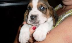 Basset Hound puppies available in 4 weeks, accepting deposits to qualified individuals. Professional references a must. 3 Females, 5 Males. Red & White, Black & White, Tri-color. Parents on the premises, all registered. For further information, please