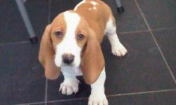 Basset Hound Puppies For Sale Westchester Puppies specializes in the sale of healthy puppies and kittens from certified breeders, with whom we have enjoyed long-standing relationships. Our puppies are home-raised and responsibly bred for temperament and