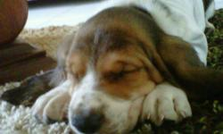 Varon is 3 month old Basset Hound pure breed, he has all his vaccines except for rabbis which will only cost $70. he is in perfect health, i have health certificate i got 3 weeks ago. I am moving abroad and Varon needs a home. He is extremely smart and