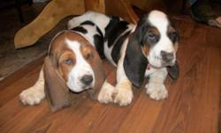 6 week old full blooded bassett puppies. There are 2 males available and they are tri color (black, brown and white) 150.00 each Please send me a email if your interested and want me to send you pictures fortner1971@gmail.com