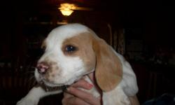 Great house dogs- Wonderful rabbit hunters - Both parents on premisis -Good with young children - 1st shots/and worming - three males remaining. Contact us at 607-642-5617