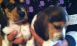 beagle puppies for sale purebred,  6 weeks old ,  first shot and deworming,  3 males and  2  females available ,    $250 each  please call or text  915 243 38 37  el paso texas