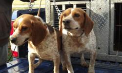 2 Blue ticks both are males. 4 years old. Good jump dogs. 13 inches tall call --