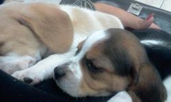 Hi, i have already 1 male beagle bi-color, them has all shots(Coronavirus, Distemper, Parvovirus, Parainfluenza, Hepatitis) & Deworm. (You save $72 in Veterinary first visit, shots, deworm test & deworm medicine). They has 8 weeks. Free Crate. I'm the
