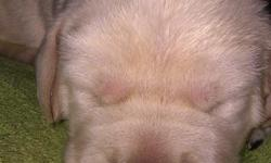 I HAVE 8 BEAUITFUL AKC LABRADOR PUPPIES 4 BOYS 4 GIRLS. THEY WILL BE READY BY CHRISTMAS AND WILL HAVE HEALTH CERT.