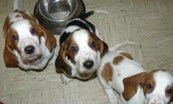 Beautiful family raised AKC registered basset puppies. Born 11/18/10. 7 tri-colored (4 female/3 male) and 2 yellow/white (female). First shots / wormed.