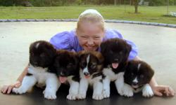 I have 4 puppies out of a litter of 7 up for sale! They have had ALL their shots and are going on 7 wks old. The mother is a beautiful AKC registered black/white Akita and the father is a red/brown Border Collie that works with cattle on the ranch! They