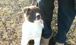 Akita Pups for sale. AKC Registered, Shots and Wormed. Ready 4-7-11 Deposit to hold. Please call for more info. 618-401-5240
