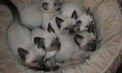 The are beautiful, playful, and friendly purebred apple head Siamese kittens. The litter is CFA registered. They are letterbox trained and will have their first shots. They are hand raised and have the run of the house. They will be ready for new homes on