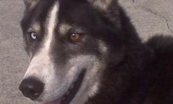 Miken is a playful and energetic 6 yr old husky mix. Looks like he may have a little german shepherd in the mix. He has been neutered and just needs a good home where his owners can spend time playing with him and loving him. If you are interested, give