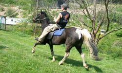 Beautiful mare, gated, gentle, easy keeper, fast. Lady is show quality, easy to catch. She has speed. Need to downsize. Please phone ()-.