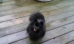 Little lovebug! Male pomeranian looking for a forever family. He is 5 lbs., 3 yrs. old, AKC registered, and extremely sweet. Is NOT housebroken or neutered, but does wear a doggie diaper when in the house.