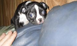 We have some very beautiful boston terrier pups for sale going fast born october 27 2012 we also have mini english 1 male 1 female left please contact 1 no textsshots wormers no opapers full bl;ooded parents on premises