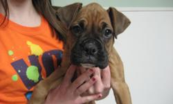 Gorgeous Boxer Pups. born December 28, 2010. Four fawn females