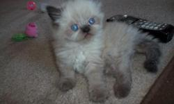 Beautiful Seal Point Himalayan/Persian kittens 5 weeks old born 6-15-11 2 males and 2 females with beautiful blue eyes, before going to their new homes at 8 weeks old they will have their 1st shots , wormed and vet checked, All kittens are CFA registered