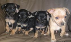 beautiful chihuahua puppies born may 20 there 100% chihuahua have 1st shots and have both the mom and the dad of the puppies for more info or pic please call (702)772-9701 (702)689-7157 Read more: