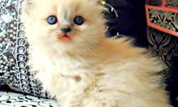 I have four beautiful blue point/ blue- eyed Himalayan Kittens for sale just in time for Christmas. They are 7 weeks old! I have 3 girls and 1 boy that are dewormed.  Call for more information!