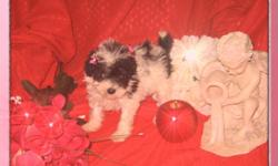 ~ Gorgeous Purebred TEACUP Poodle Puppy ~ Make an Offer?? She's Register with CKC (Continental Kennel Club). She almost 8 weeks old, she is eating soft food already since she was 3 weeks old.. She is a Black and White Parti Color Teacup Poodle Girl