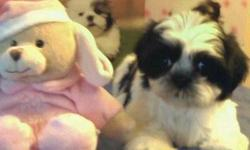 Welcome we are a litter of the most beautiful CKC Shih Tzu babies there are4 pups in our litter (1) brown,some black and white girl and she is300.00. The boys in our litter are (1) brown,some black and white and (1) dark brown andwhite boy we are 275.00