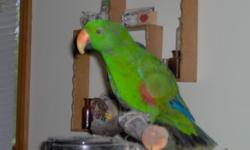 Male Eclectus Parrott 12 years old.