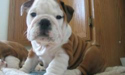 The puppies were born on October 20th,they are adorable bulldog babies!!Beautiful boy and girl left! FCI(Europe) registered(AKC transferable).The best Europe bloodline..They are ready to go this weekend.Come by to visit them!!!Perfect Christmas gift and