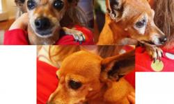 FOUND SATURDAY 11/10/12 Wandering Coronado Ranch Area - Rainbow and Warm Springs Very affectionate, older female tan and white chihuahua. No Collar and No Tags - but appears to have been a cherished pet. If you are looking for her, please contact us