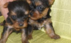 BEAUTIFUL SMALL MALES AND FEMALE AVAILABLE,BABYDOLL FACES, UTD ON SHOTS,WORMINGS,HEALTH GUARANTEE. CKC/AKC SWEETANGELPAWS4U.COM 803 345-8053