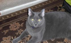 Smoke is a tall grey, very SWEET cat with bright Yellow Eyes. He is truely bueautiful, fully declawed, neutered and has had shots. I have become allergic and must fine my sweet boy a home with someone who will love him and spend time with him.