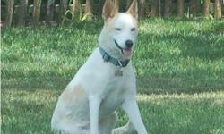 1 yr old white/tan female husky/shepherd mix with blue eyes.. Spayed, has all shots, identity chip, and heart worm preventative meds. Lives outside in dog-run but will probably house-train easily. I travel a lot so looking for a Great home for her (name