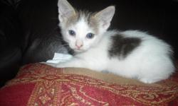 FREE TO GOOD HOME BEAUTIFUL 6 WEEK OLD KITTEN. CAN'T KEEP HIM CUZ I HAVE BIG DOGS. HE IS SO SWEET AND REALLY NEEDS A FAMILY TO LOVE HIM. CALL DEBRA IF INTERESTED (210)300-5287