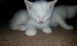 2 white kittens and a calico and 1 grey free to good home