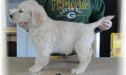 TOP QUALITY Male Golden Retriever Puppies for Sale. I have english cream to light gold colored male and female pups looking for the perfect family! We are located in Manitowoc County just south of Green Bay. Go to our WEB SITE