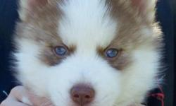 Beautiful light red/white male siberian husky puppy. He will come with full AKC registration, first shots and worming. All of our pups are raised around kids and spoiled rotten. He can be picked up at 6 weeks or shipped at 8 weeks for an additonal charge.