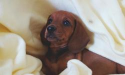 These beautiful Mini-Dachshund puppies were born August 9, 2011, and will be ready for their new homes by October 4, 2011 when they are 8 weeks old. Potty training will have begun,and they will be started on their shots and worming schedule. They are: one