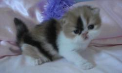 GORGEOUS FLUFFY PERSIAN KITTENS HEALTHY PLAYFUL LITTERBOX TRAINED RAISED IN MY HOME AND GIVEN DAILY DOSES OF HUGS AND KISSES AND SHOWED LOTS OF LOVE WE HAVE ONE LITTLE ANGEL READY FOR HIS HOME NOW THE OTHERS WE ARE TAKING DEPOSITS ON FOR MORE INFO ON OUR