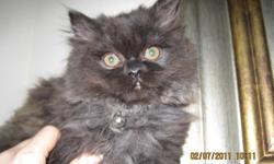 Adorable, fluffy, gentle and beautiful Persian kittens 11 wks old..... the male is a doll face and the female is the flat face and they are both a grey color with the male being a darker grey and the female a lighter grey and both have copper eyes. These