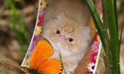 Beautiful Persian Kittens! They are now ready for their forever homes. They are CFA Registered and have been vet checked and received their first vaccinations and worming. I have one red mackerel, and one red cream. They come from an excellent Champion