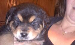 Beautiful puppies. 6 weeks old. Austrailian Shepard/ Black Lab/ Chow/ Rotweiller mix. Parents on premises. Good with children and cats. Call Pam at --.