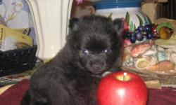 ~ Beautiful Ckc Register Small Toy Pomeranian Female Puppy ~ She was born on December 25, 2010 ~ So Make an OFFER?~ She's solid black color with white chest... and so Fluffy like a Teddy Bear.. She had her first and second set of shots and De-wormed...