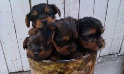 BEAUTIFUL YORKIE PUPPIES. They are current on all shots and worming, and ready for their new home, They have been examined by the VET. They come with 1 year health guaranteed and sample vitamin food, 10 weeks old. They will be only 4-6 lbs grown up. Both