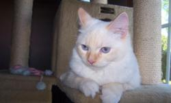 Born September 30, 2011. Ready for new homes on Nov. 25th. There are Siamese/Ragdoll kitten ? seven females and two males beautiful blue eyes is available to a good home. The kittens will be vet checked, have their shots and dewormer. Health guaranteed.