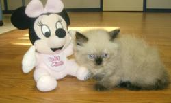We have 1 Chocolate Point female, and 1 Chocolate Point male Ragdoll babies born 5/25/10. The kitten will come with a written health guarantee, and have their first kitten vaccination. The kittens will be able to come to their new families on 7/ 26/10.