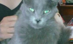 Beautiful Russian Blue, Free to good home. He's a great, fixed cat with a wonderful personality. He does great with Kids and other pets including large dogs. My husband and I have recently moved and simply cannot keep him anymore. We would love to place